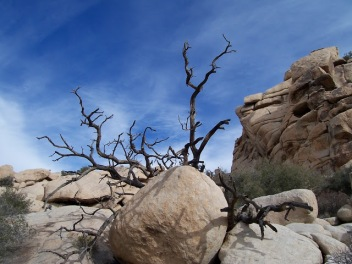 Deadwood Joshua Tree.Michelle Derusha